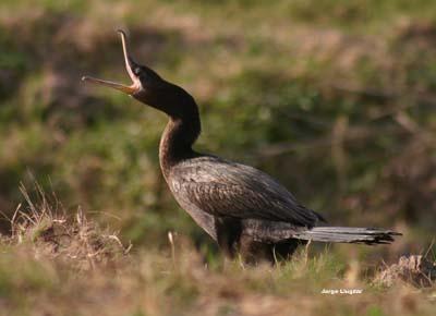 Biguá (Phalacrocorax brasilianus)