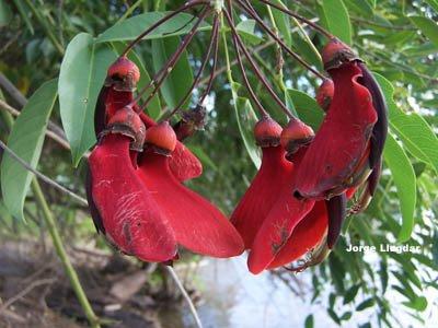 Flor de ceibo (Erythrina crista-galli)