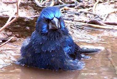 Reinamora grande azul (Cyanocompsa brissonii ) - Charco Viejo, Dpto. Rio Hondo