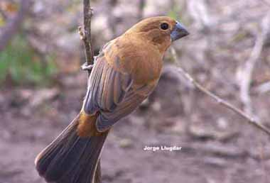 Reinamora grande marrón (Cyanocompsa brissonii )