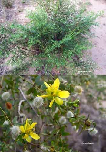 Jarilla Macho (Larrea cuneifolia cavanilles)