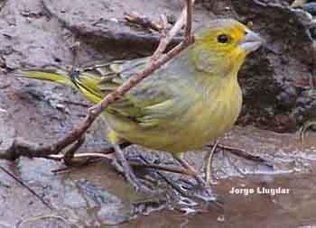 Jilguero (Sicalis flaveola)