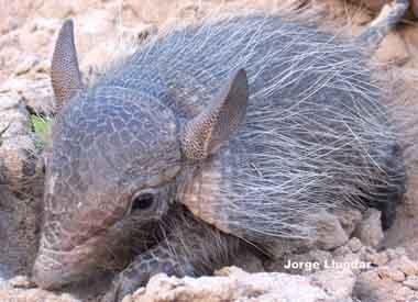 Pichi ciego menor (Chlamyphorus truncatus)