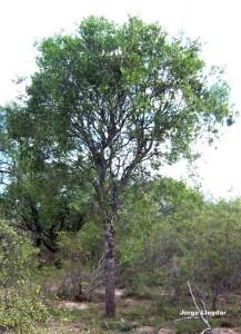 Quebracho colorado (Schinopsis quebracho colorado)