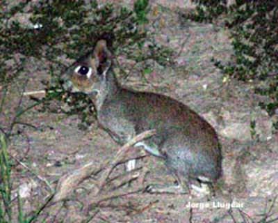 Conejo del palo (Pediolagus salinicola)