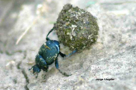 Acatanca (Diloboderus abderus) - Charco Viejo, Dpto. Río Hondo