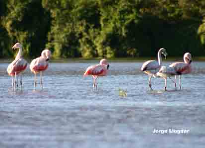 Flamenco Común - Flamenco Rosa (Phoenicopterus ruber) - Río Dulce