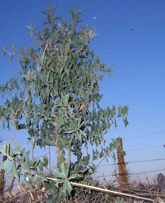 Sombra de Toro (Jodina rhombifolia) - Toro Pozo, Dpto. Jimenez