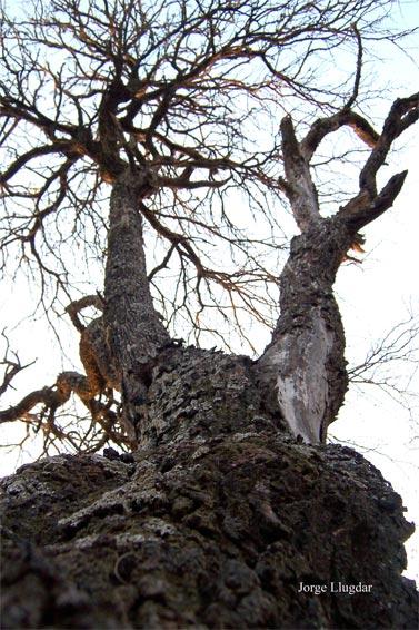 Viejo algarrobo (Prosopis alba griseb)