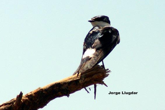 Pareja negro golondrina cerca de Móstoles