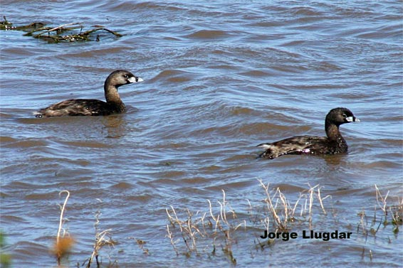 Son aves acuáticas, muy buenas buceadoras, muy fáciles de ver en lagunas, lagos, embalses y bahías, e incluso en cunetas de caminos, siempre que haya profundidad para bucear.